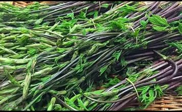 do you know about hop shoots worlds most expensive vegetable with amazing health benefits » Trishul News Gujarati Breaking News