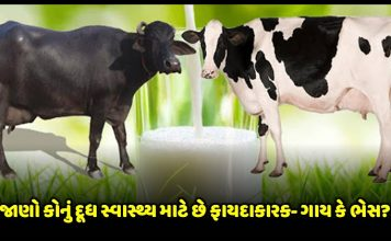 know whose milk can be beneficial for your health cow or buffalo » Trishul News Gujarati Breaking News