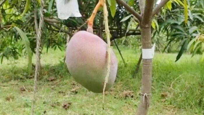 mango most expensive breeds japanese miyazaki mangoes 2 lakh 70 thousand rupees kilogram in the international market three guards and nine dogs trishulnews1 » Trishul News Gujarati Breaking News