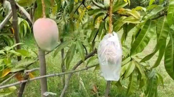 mango most expensive breeds japanese miyazaki mangoes 2 lakh 70 thousand rupees kilogram in the international market three guards and nine dogs trishulnews3 » Trishul News Gujarati Breaking News